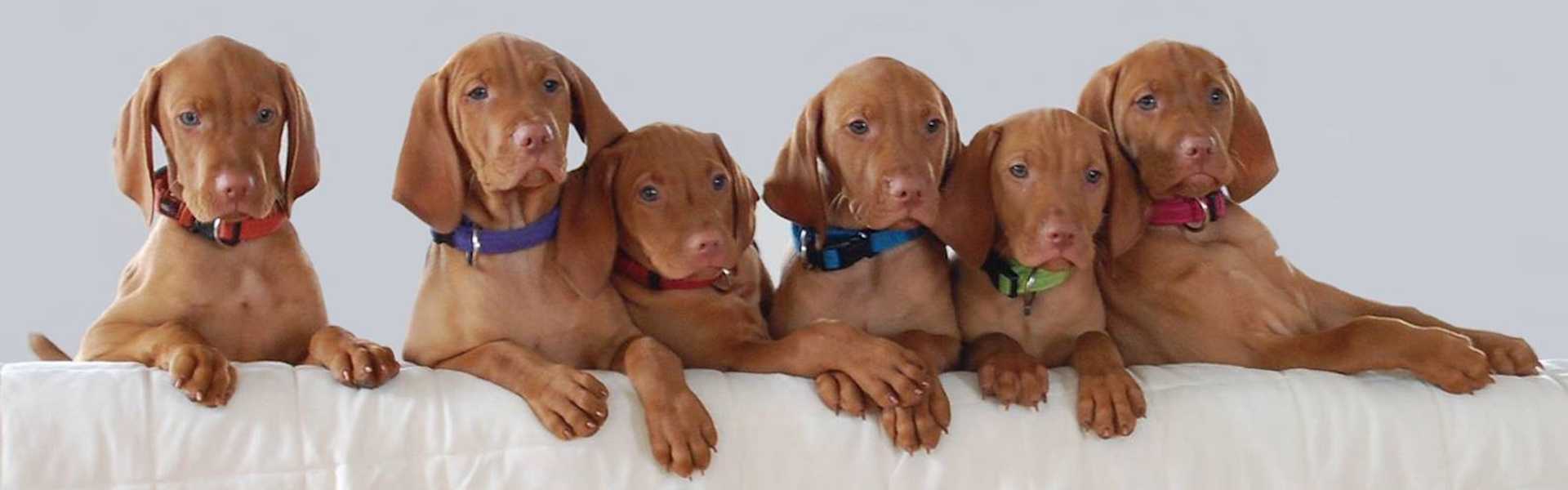 Looking for a Vizsla?
